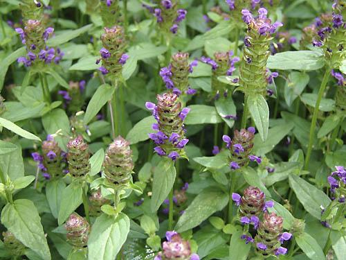 prunella vulgaris_plant