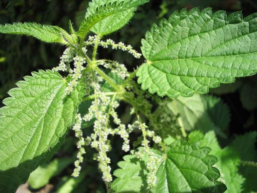 Stinging Nettle- adaptations- ugly flowers