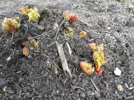 Rhubarb Rheum rhabarbarum