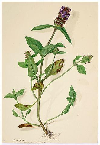 b3fafb486d1946ef4b0b8bf6ff983025--herbaria-wild-flowers